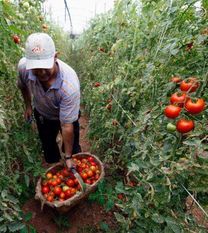 EU tendrá que pagar más por comer tomate mexicano