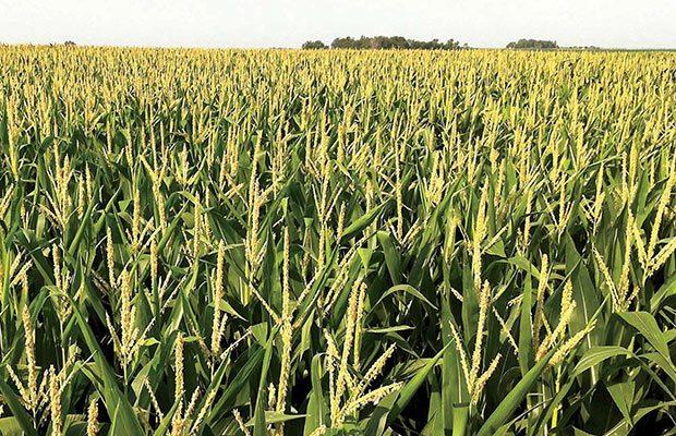 A través del blockchain buscarán beneficiar la producción de amaranto en México