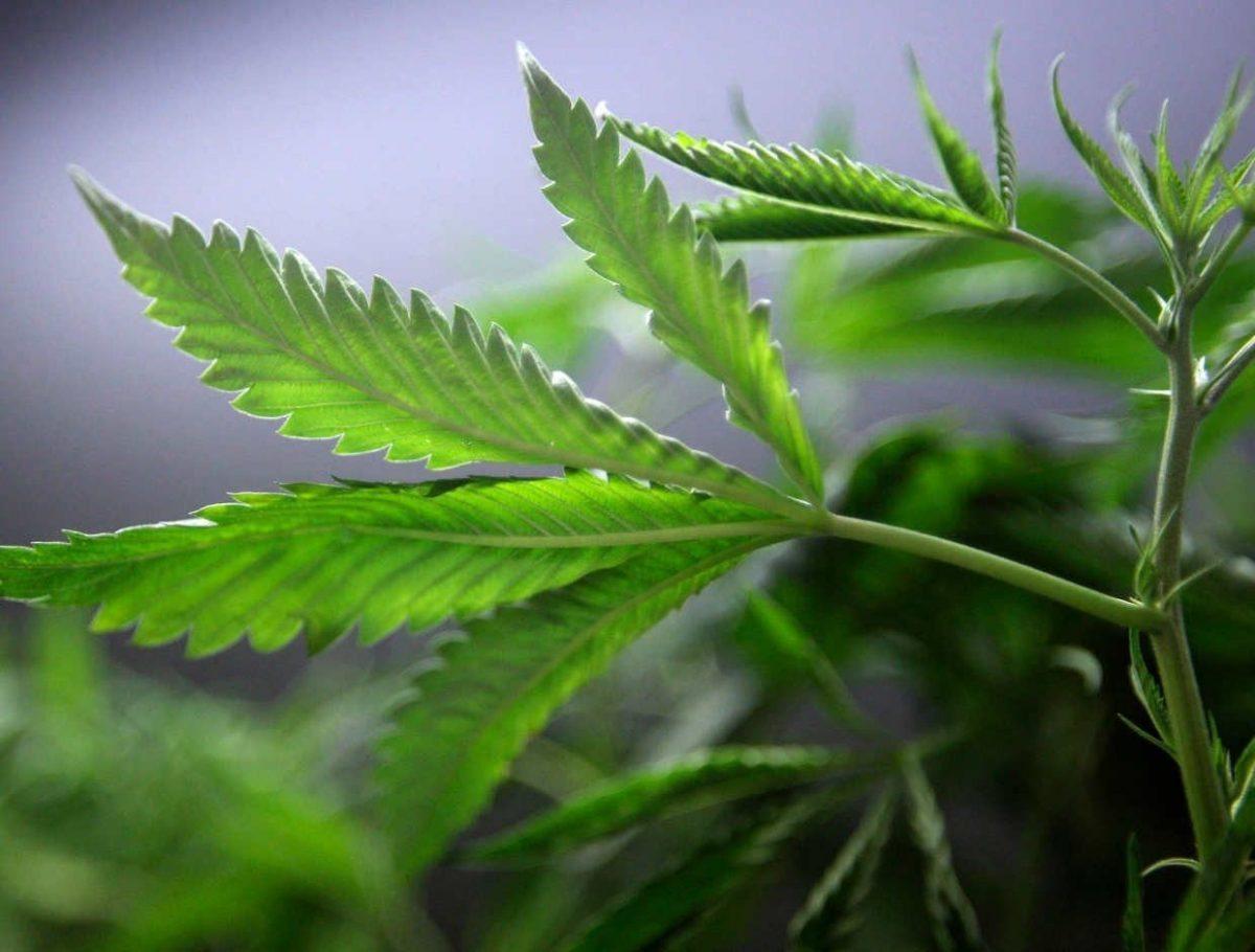 La industria del cannabis creará 250,000 empleos en EU para 2020: New Frontier Data