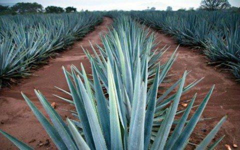 Son tiempos de bonanza para la producción de tequila