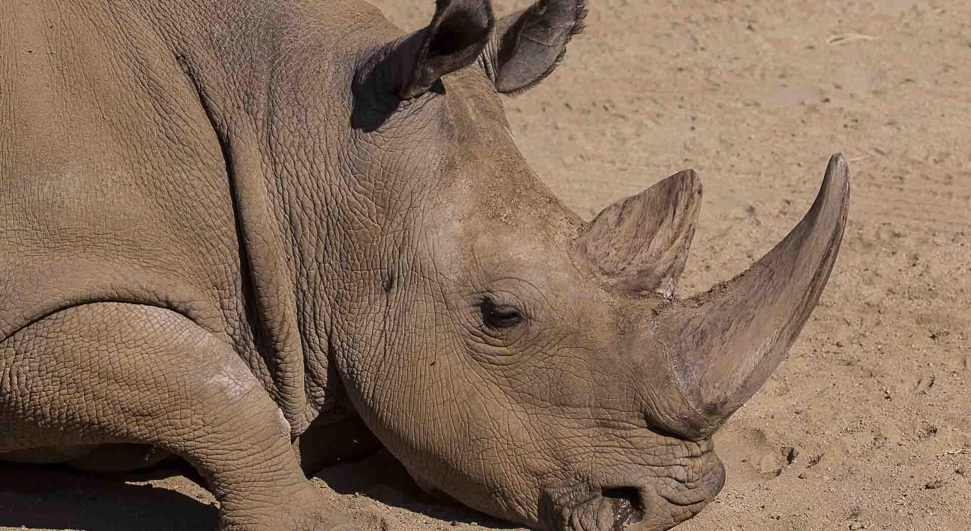 Tres especies de rinoceronte se encuentran en 'peligro crítico' de extinción