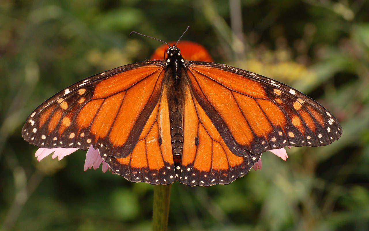 La mariposa monarca será clasificada como especie en extinción