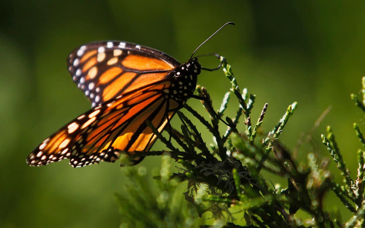 En riesgo, migración de la mariposa monarca a México: Investigador de la UNAM