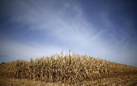 Un maizal listo para su cosecha en Minooka, EU. (Foto: Reuters)
