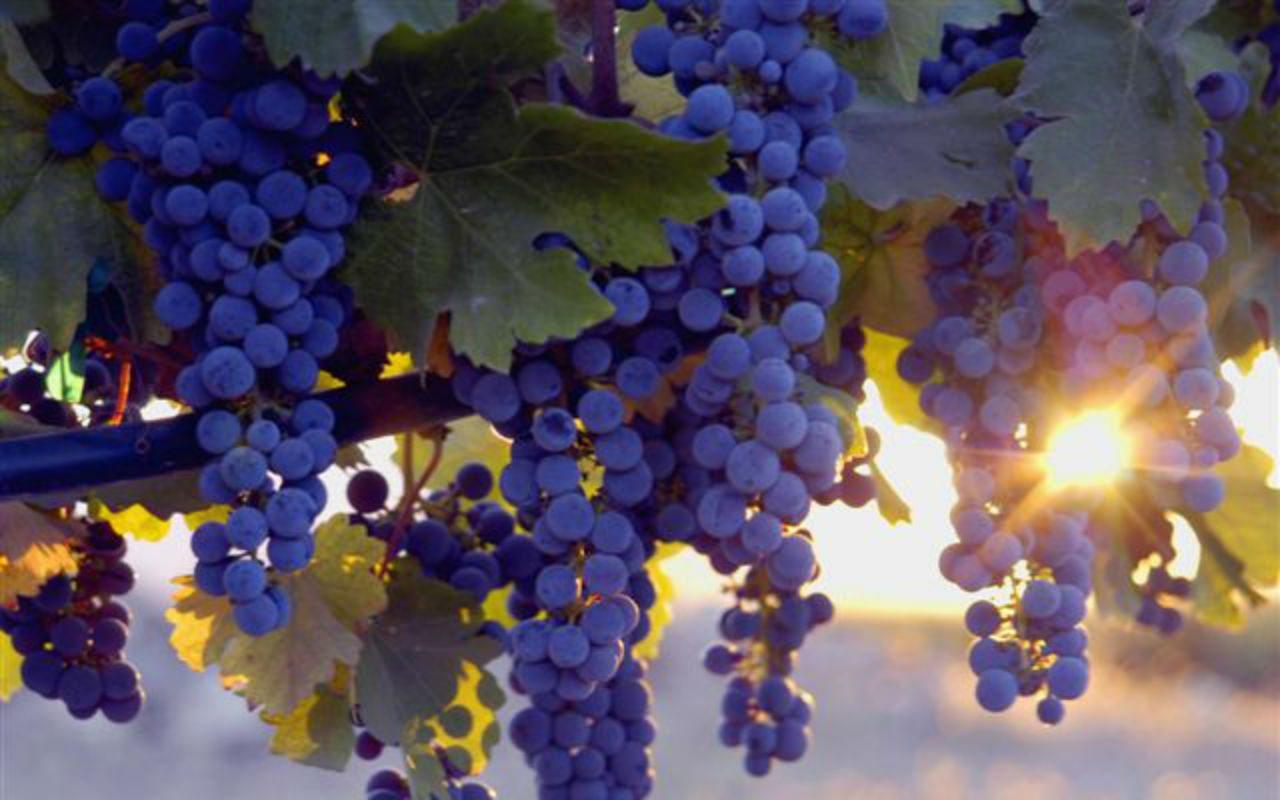 Compuesto en uvas, moras y cacahuates inhibe propagación del cáncer