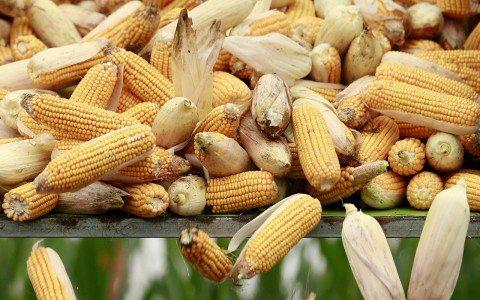 Gobierno analiza ampliar cuotas de maíz importado para evitar tortillazo