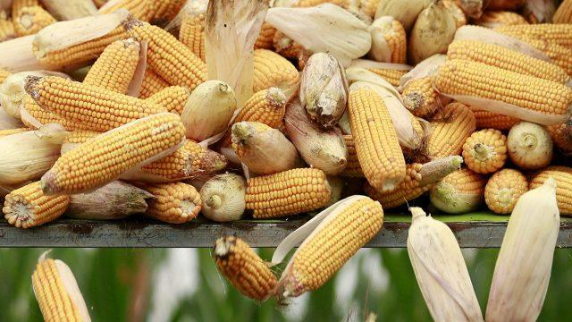 maíz-economía