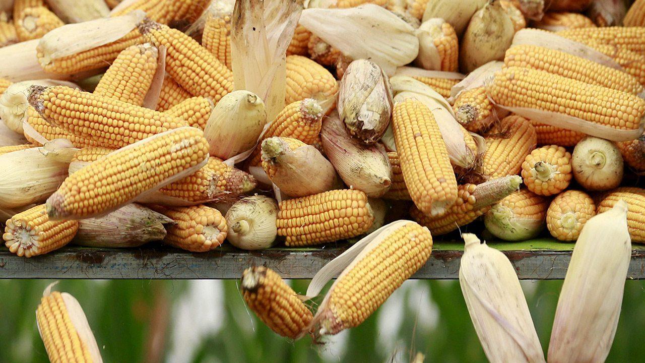México prueba el maízbrasileño en lugar del estadounidense