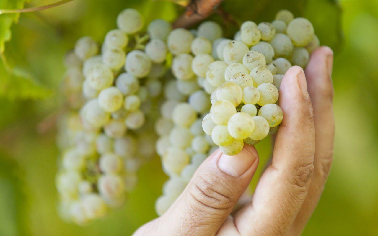 ¿Cómo es el mercado en el consumo de vino blanco en México?