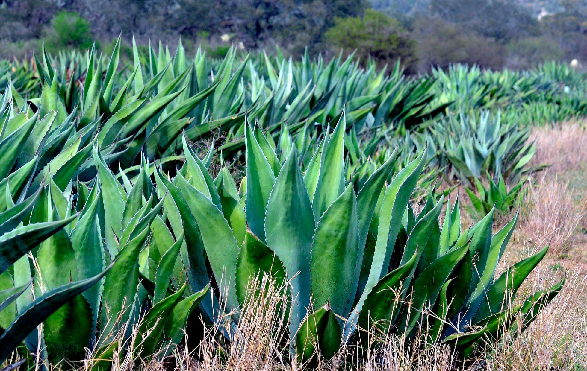 Científicos del Politécnico elaboran pan a partir de pulpa de agave