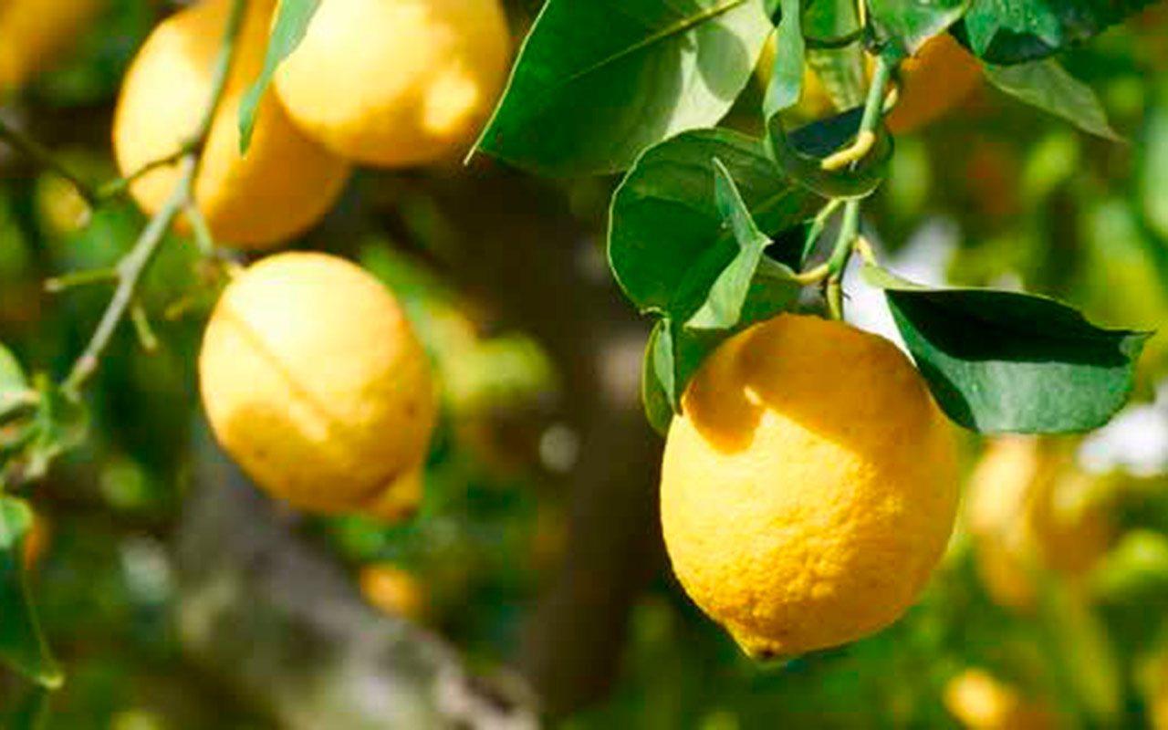 Limones orgánicos, una historia de éxito emprendedor