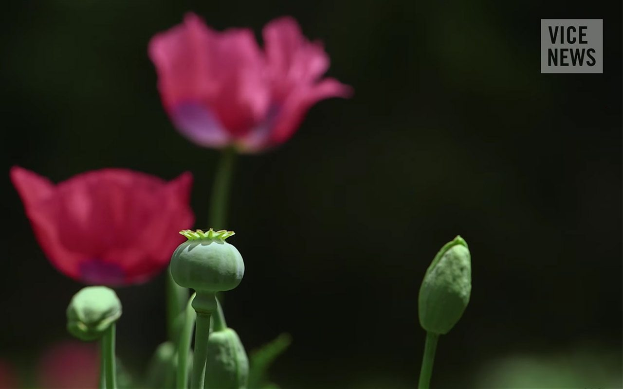 Heroína mexicana: la ruta de la amapola