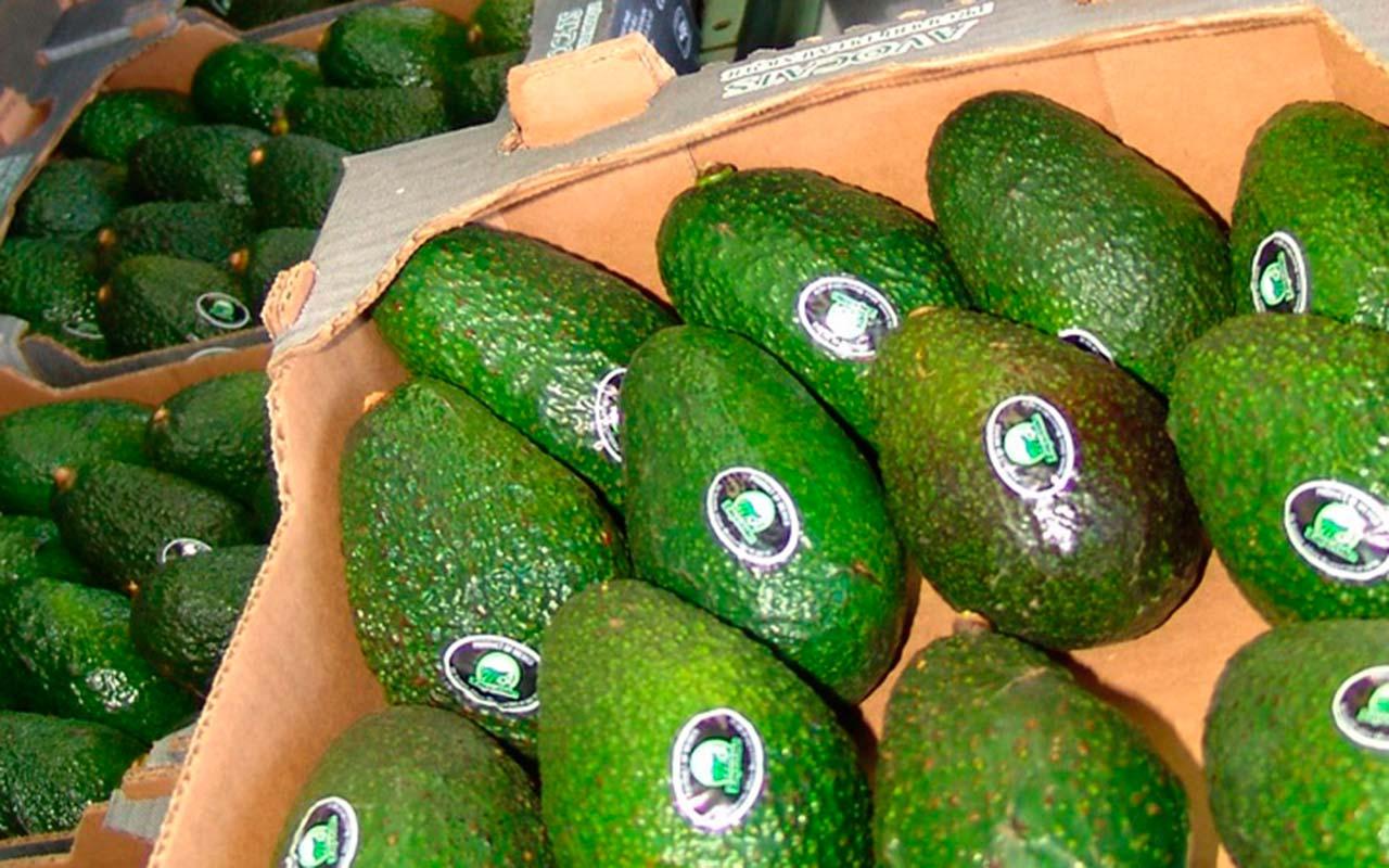 Texanos pagan hasta 124 pesos por un kilo de aguacate michoacano