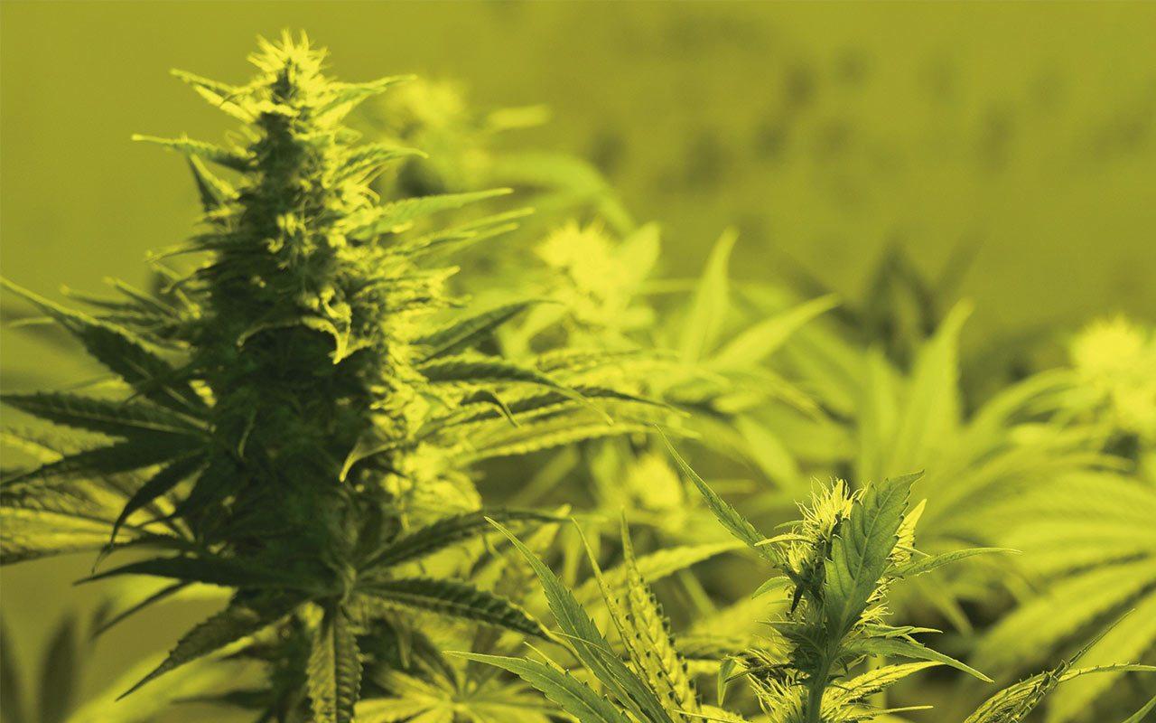 Canadiense Aurora Cannabis se asocia con farmacéutica para operar en México