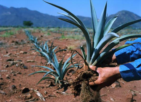 Industria del Tequila, sin miedo a la renegociación del TLCAN