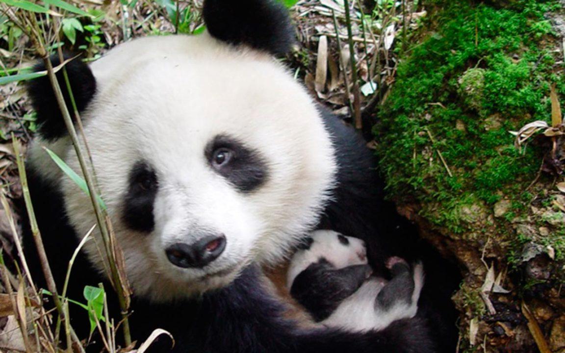 Los pandas están de regreso gracias al crecimiento económico