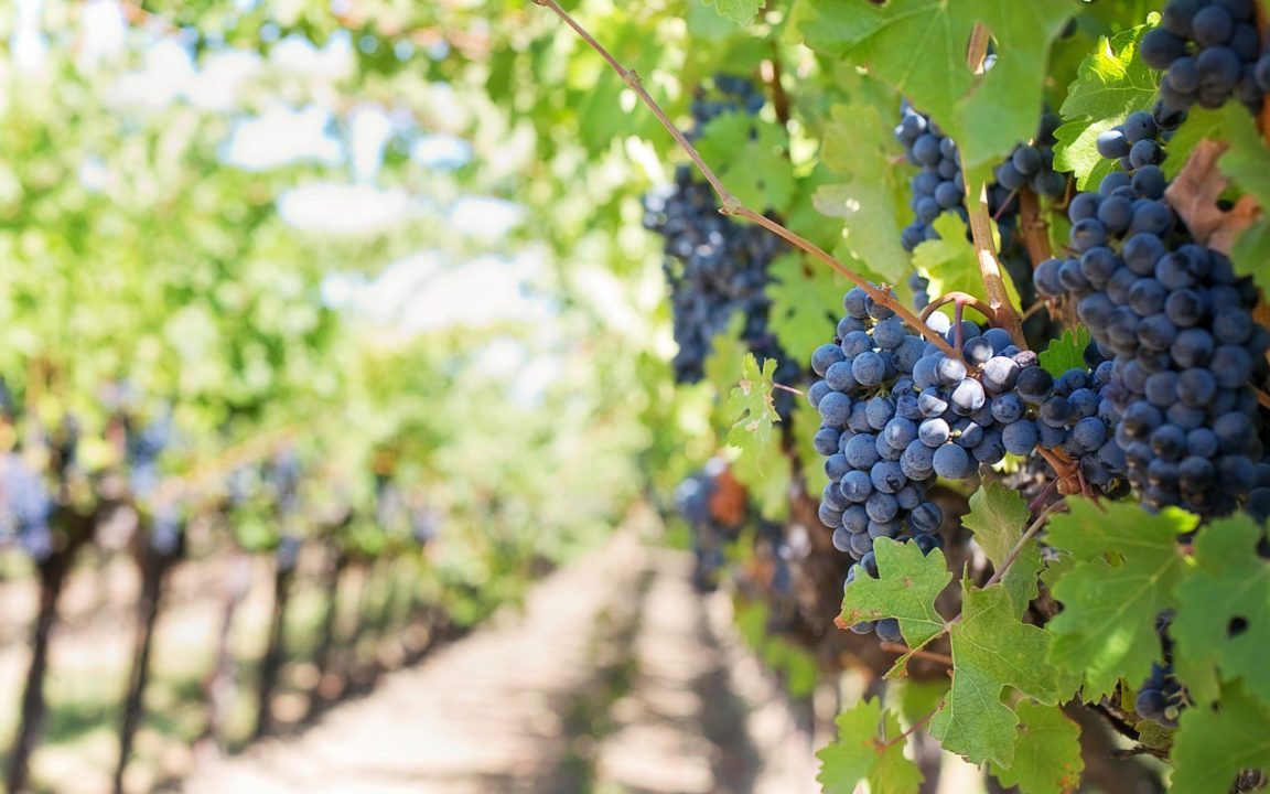 Los viñedos mexicanos que es posible visitar