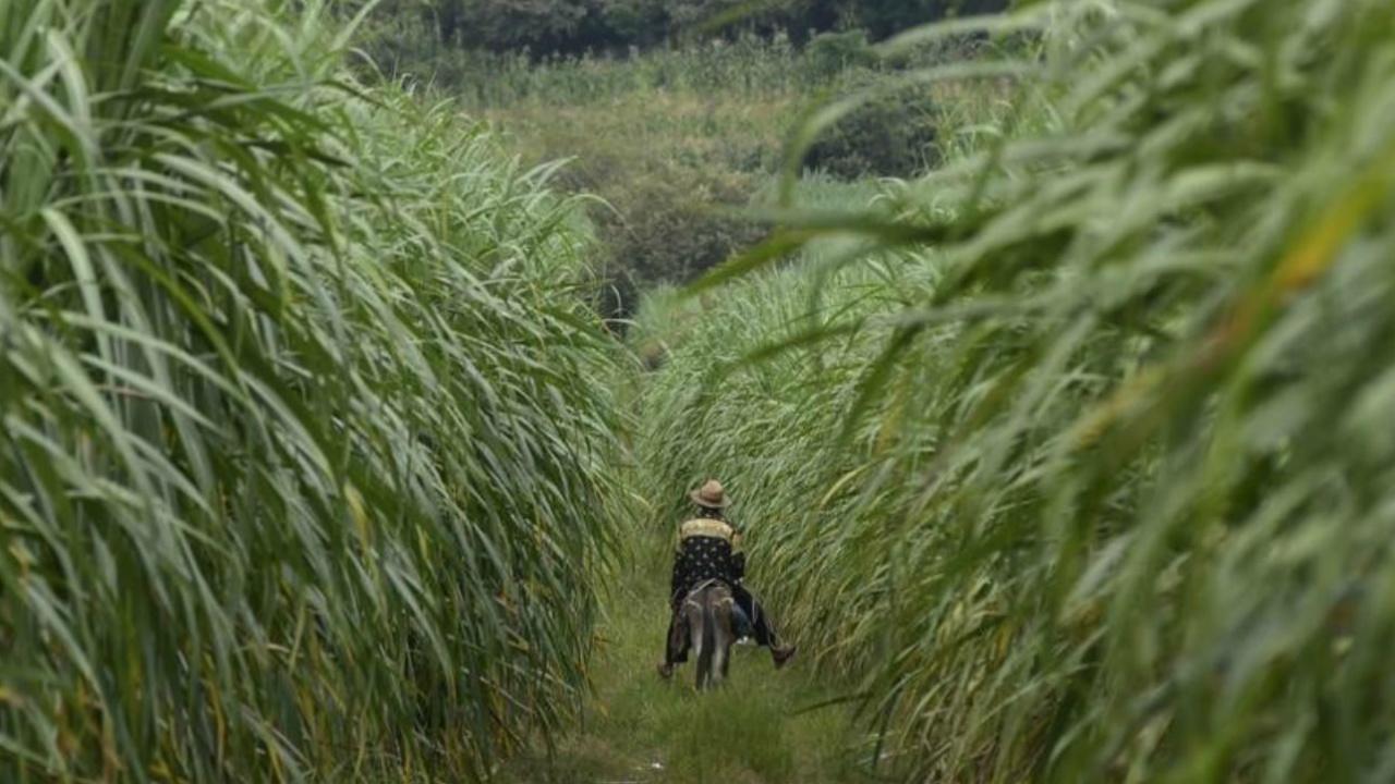 México fija cupo máximo para exportaciones de azúcar a EU