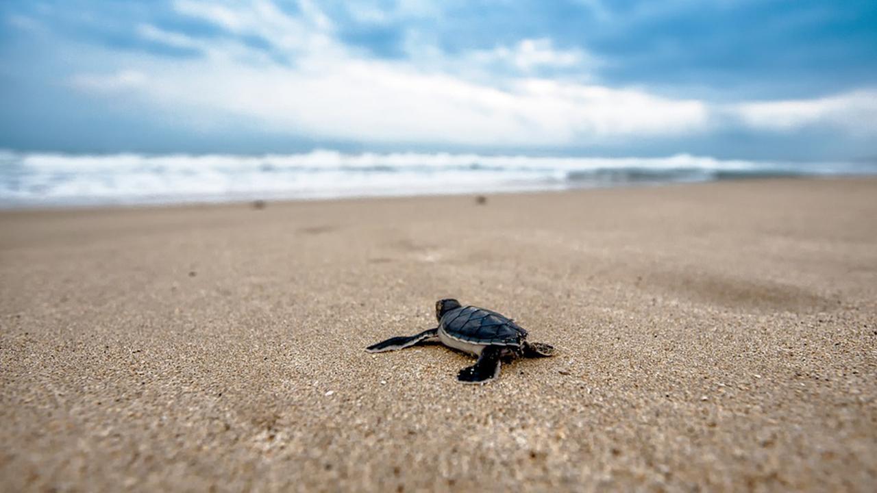 Rescatan 24,000 huevos de tortuga marina que iban al mercado negro