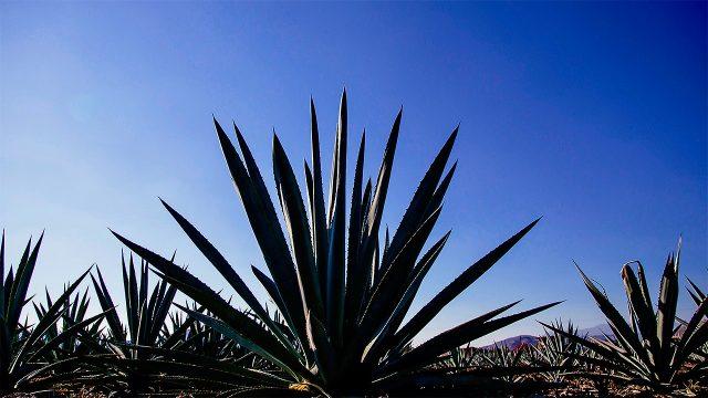 mezcal-agave