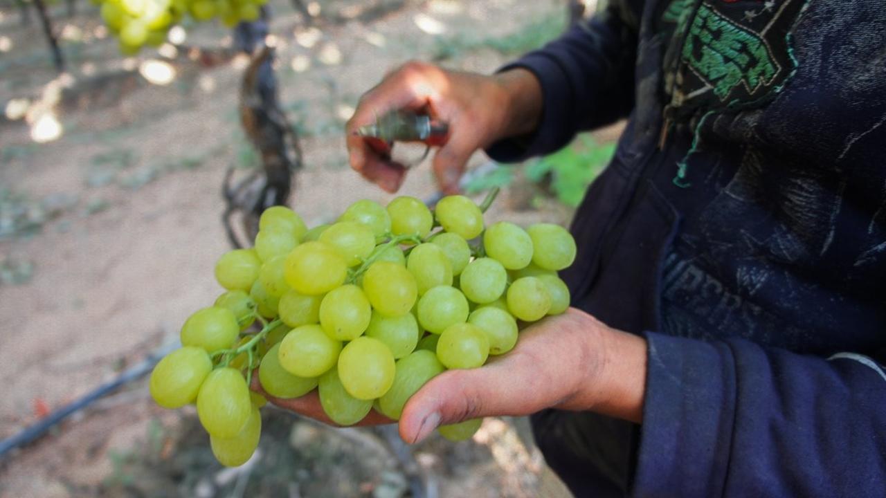 Uvas mexicanas llegan por primera vez a Australia