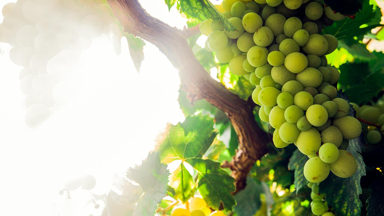 La uva Sauvignon Blanc está de vuelta en México