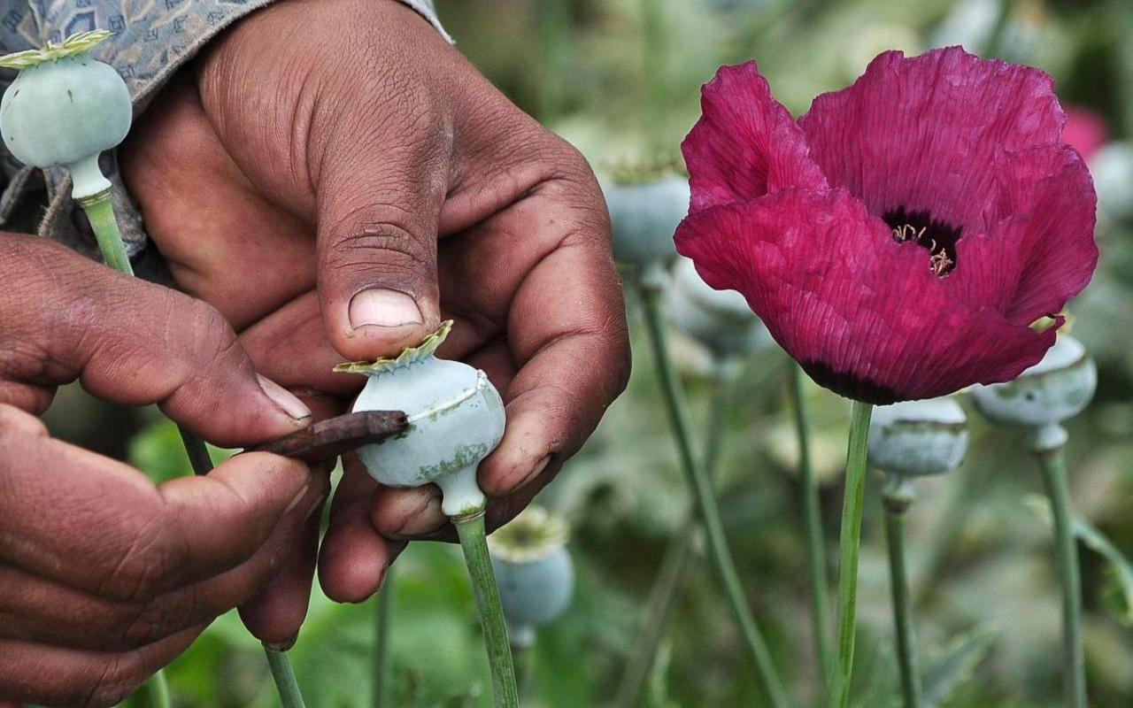 Cultivo de amapola y producción de metanfetamina aumenta en México