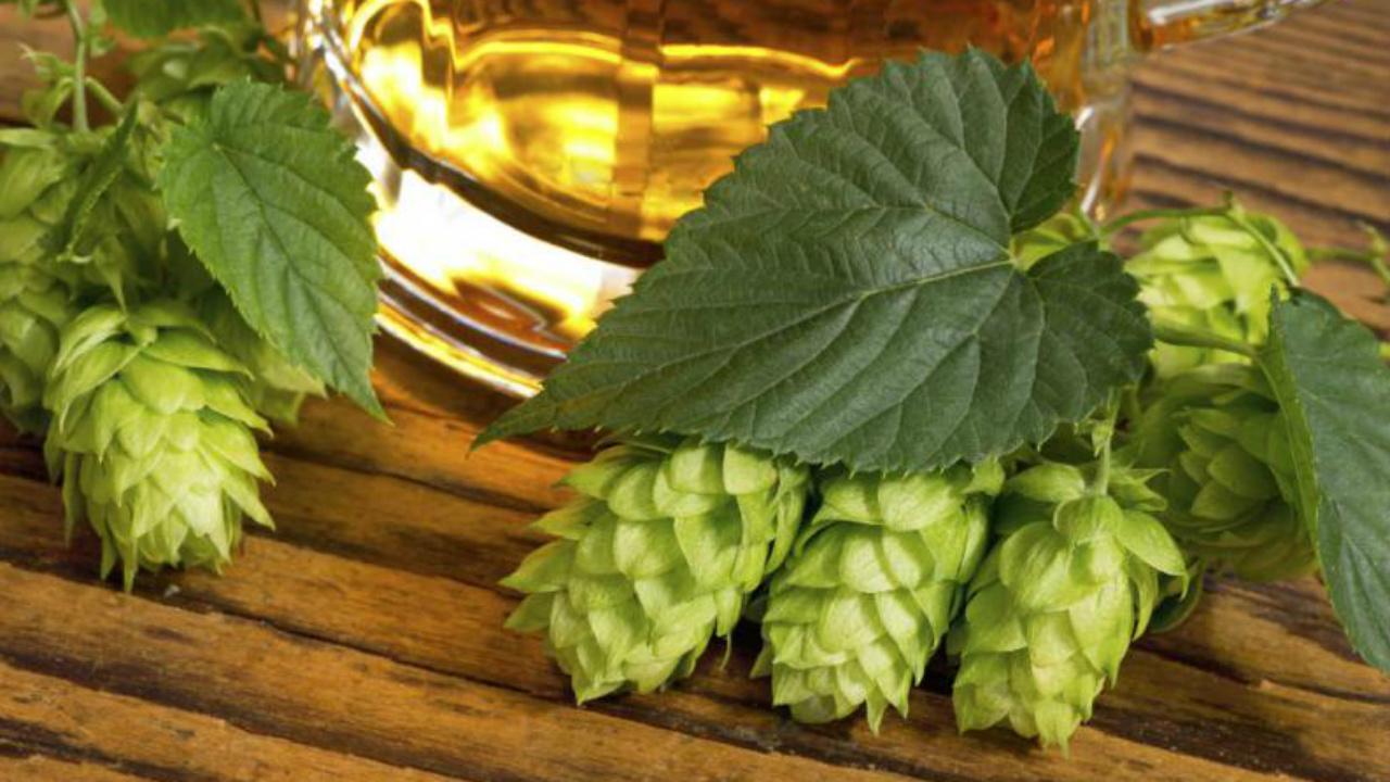 Los ingredientes de la cerveza: el lúpulo