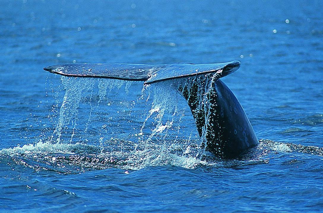 Japón desata condena mundial por reanudar caza de ballenas