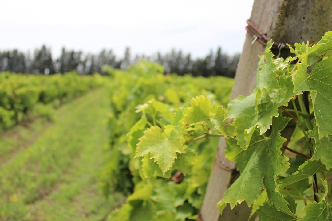 Haz enoturismo en tres bodegas vinícolas de Uruguay