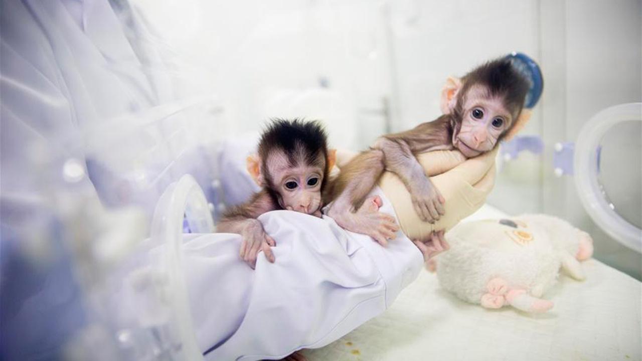 China clona a los primeros macacos del mundo