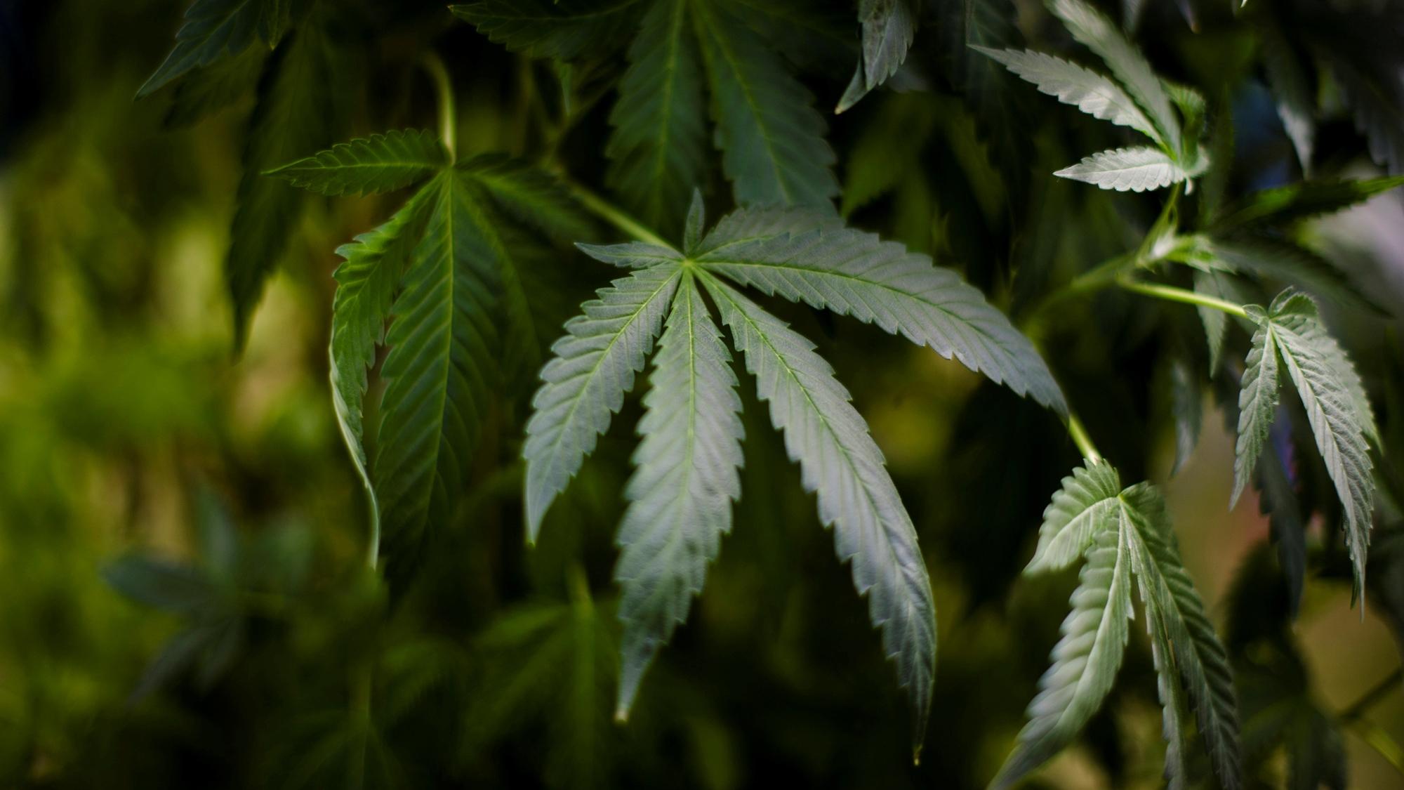 Suprema Corte prevé validar el uso medicinal de la mariguana en la CDMX