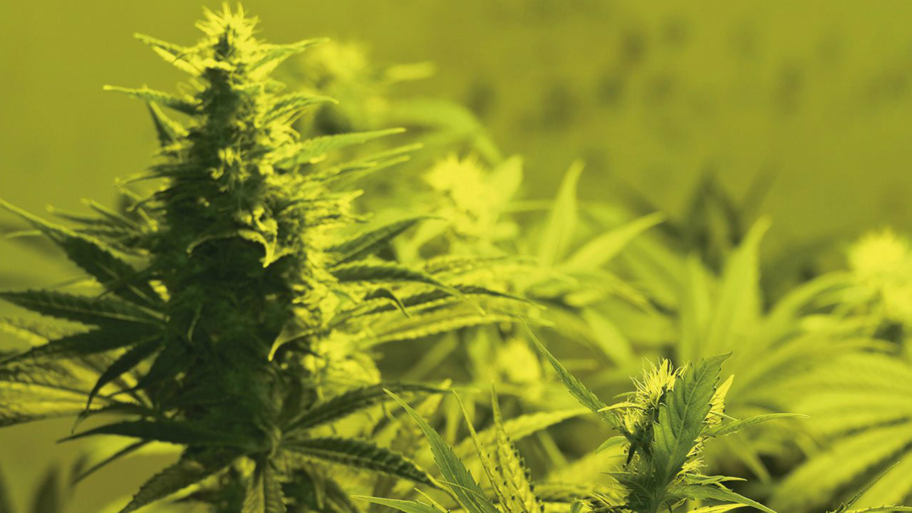 Regular marihuana: ¿Así de fácil o así de difícil?
