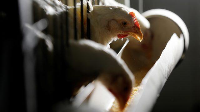 pollo-avicola