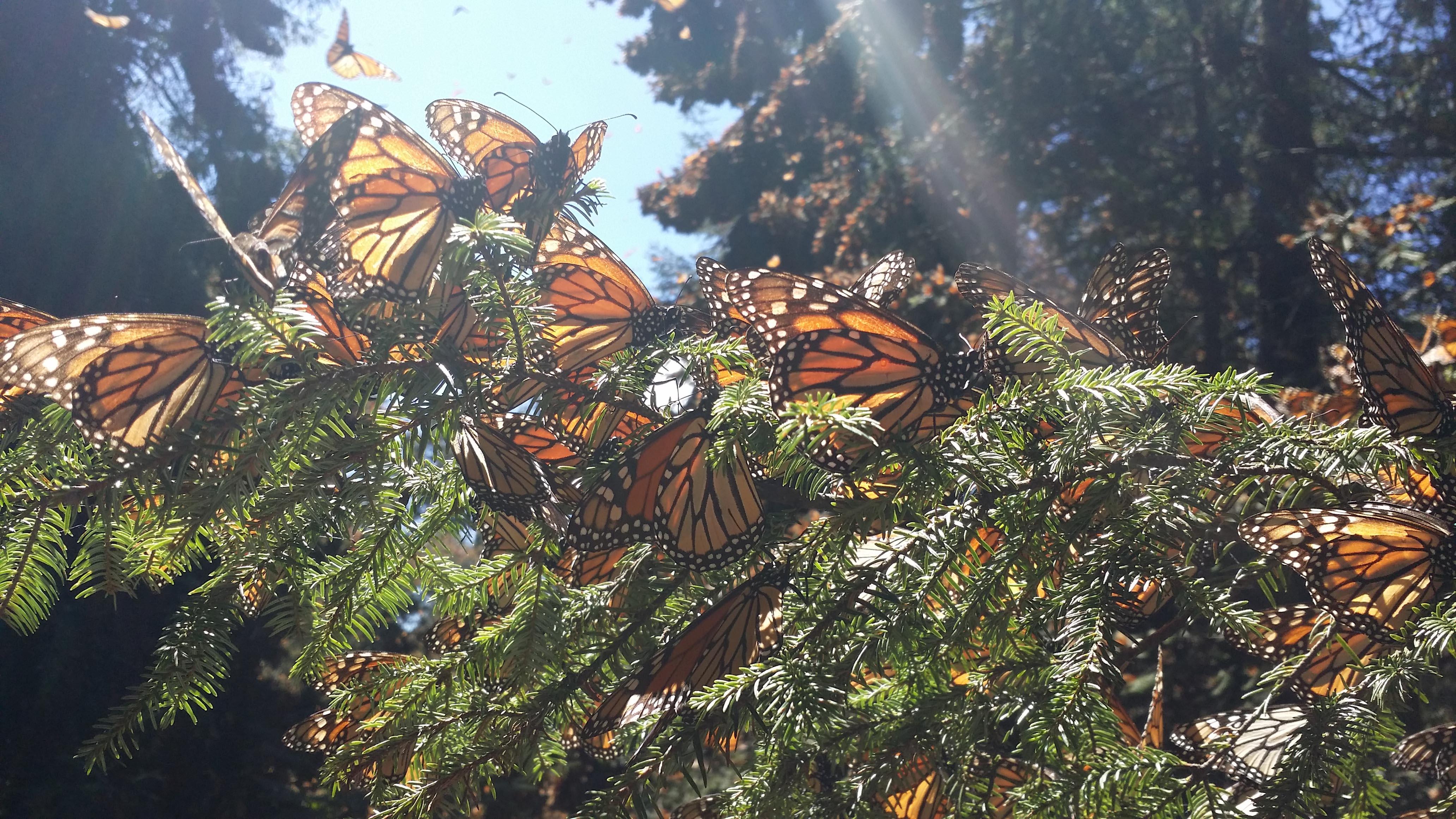 Crece 144% población de mariposas monarcas, pero aún continúan en riesgo