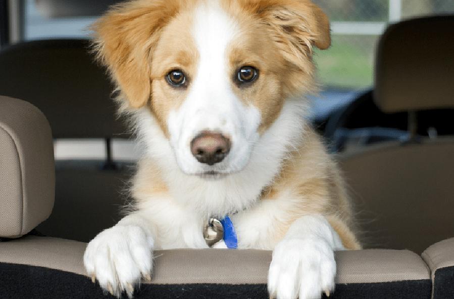 Cómo viajar con tu mascota en automóvil
