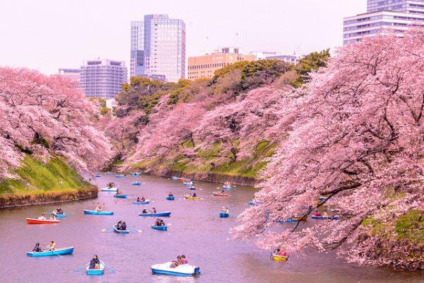 Japón en el Hanami, con cerezos en flor