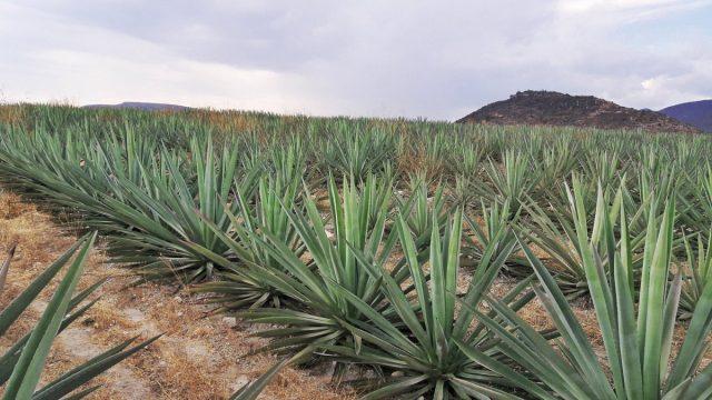 Mezcal en Oaxaca