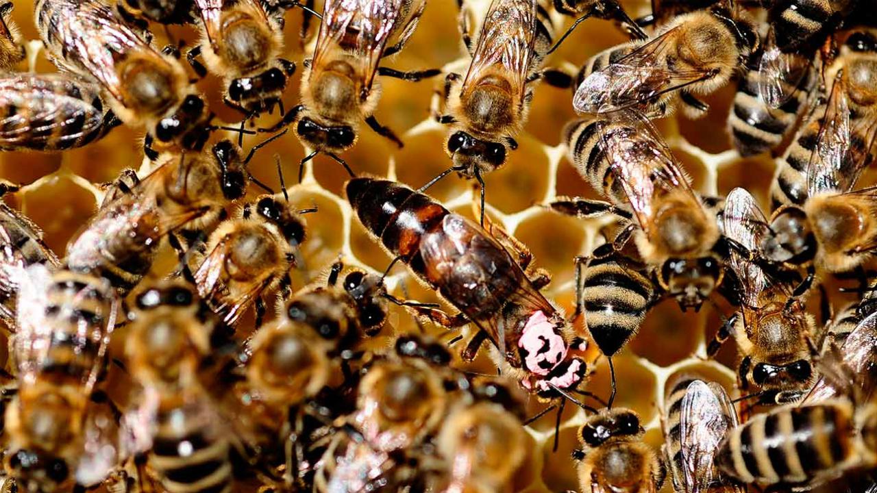 Las abejas son los animales más importantes del mundo: estudio