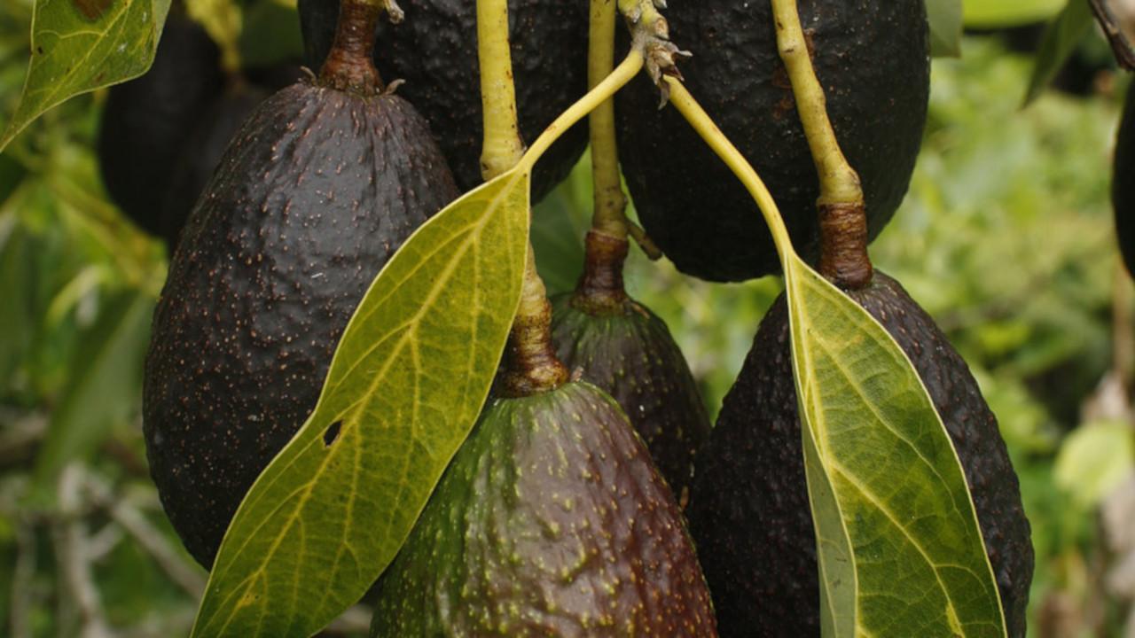 T-MEC y el agro mexicano: los riesgos con la estacionalidad y el trabajo forzoso