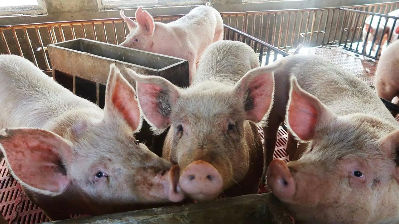 China detecta primer brote de peste porcina africana desde julio