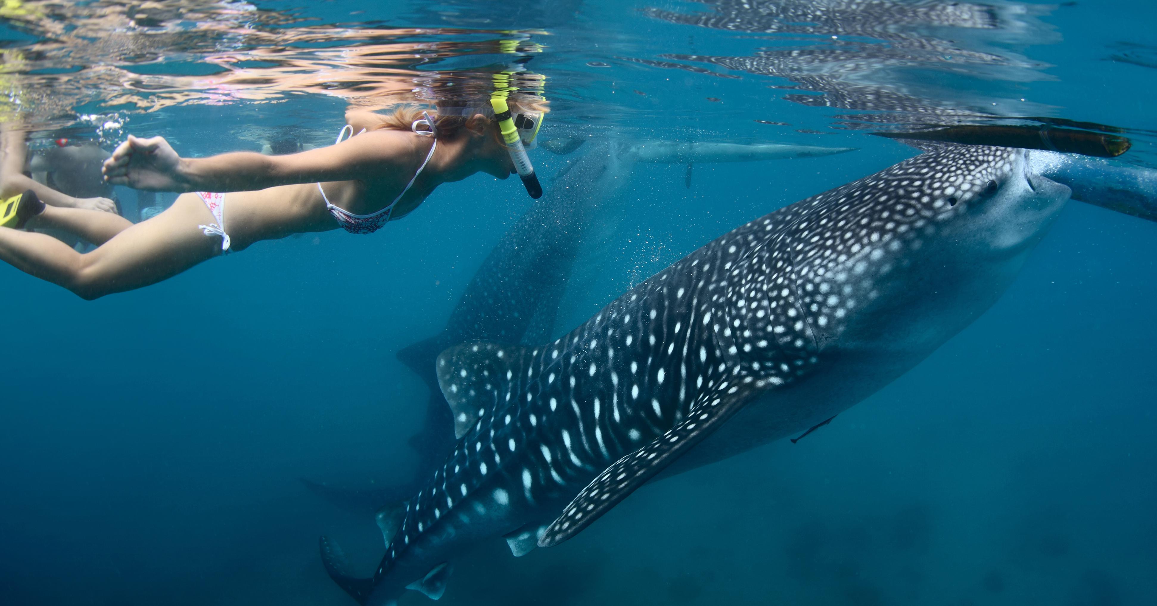 3 lugares en México para nadar con el tiburón ballena