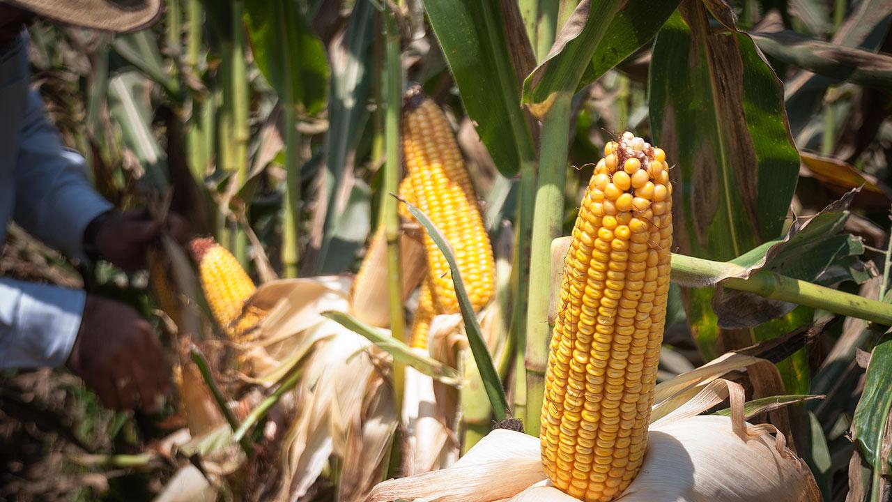 Estos serán los precios de garantía para el maíz, frijol y leche con AMLO