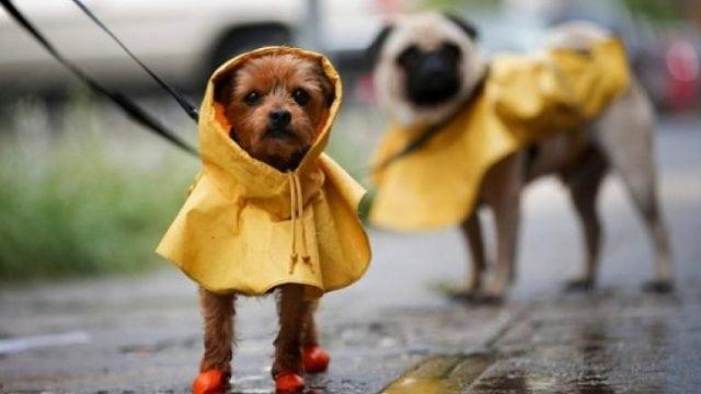 mascota lluvias
