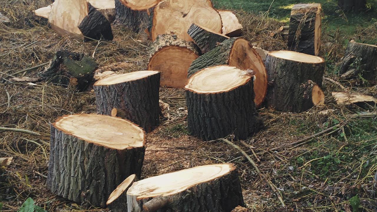 Talan árboles en Veracruz para entrar al programa 'Sembrando Vida'