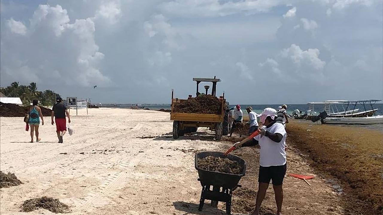 Recolectan en Quintana Roo más de 6,000 toneladas de sargazo
