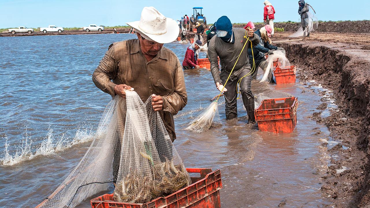 Camarones de granja vencen captura tradicional