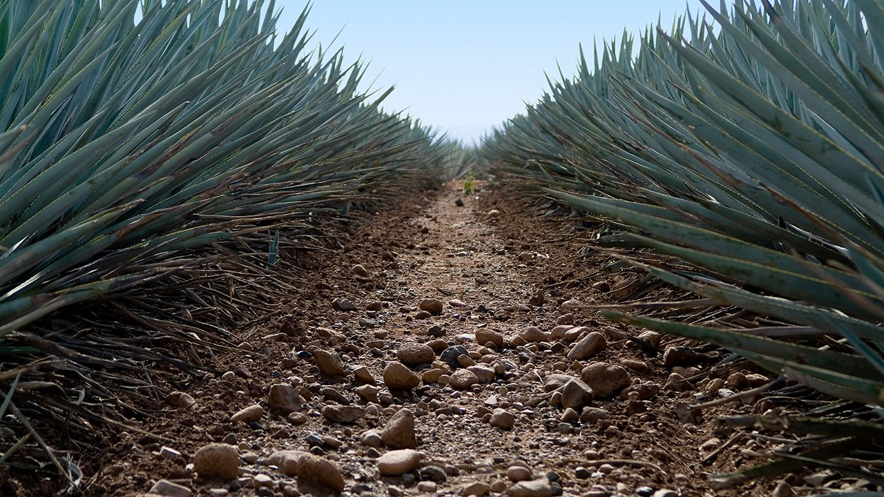 José Cuervo tiene un mal trimestre por altos precios del agave
