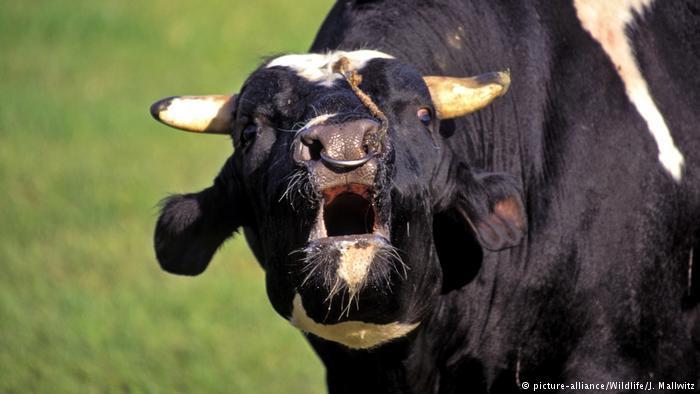 ¿Regresan las vacas locas? Primero en reses, y luego en humanos