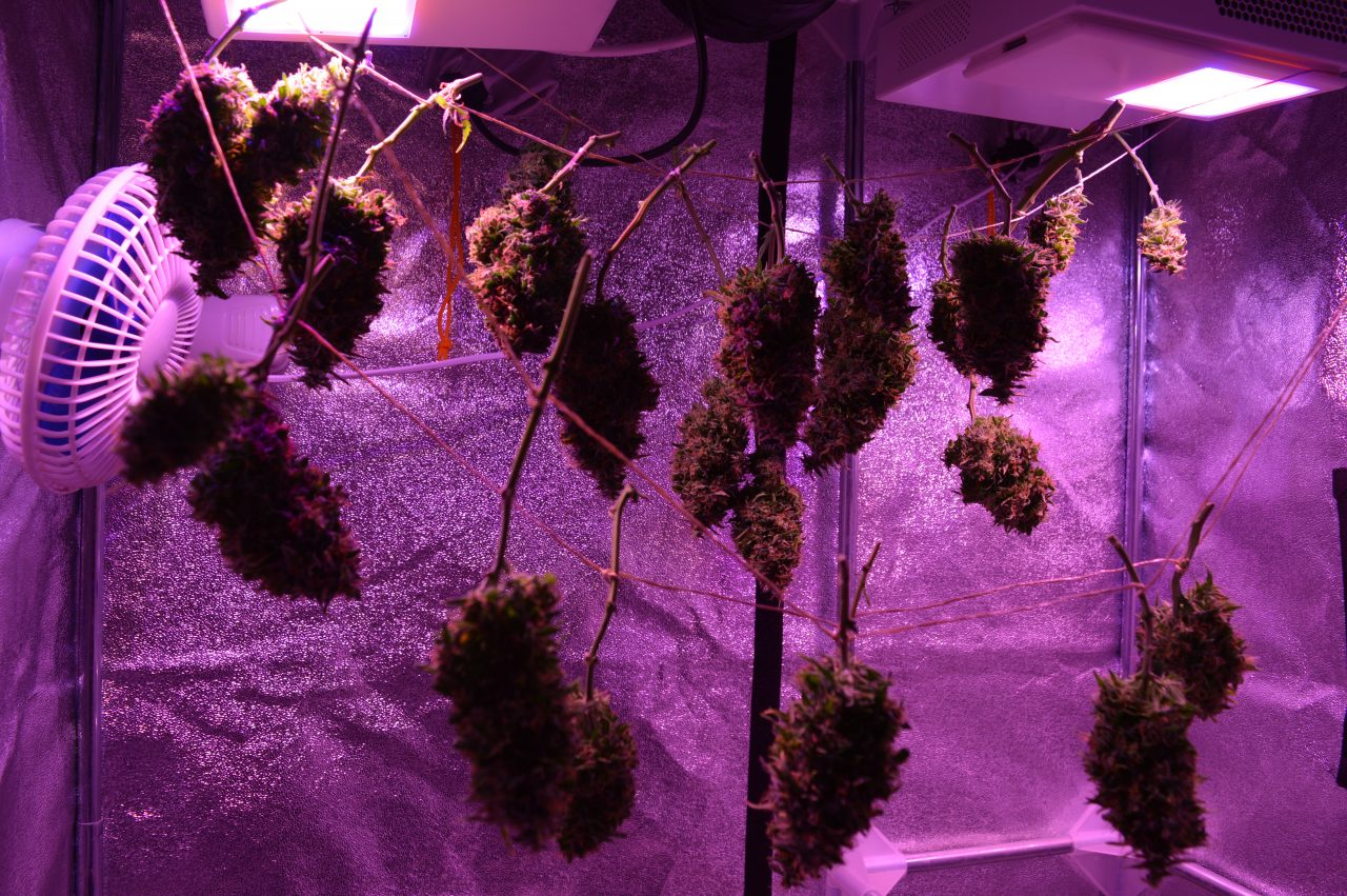 Tés y bebidas energizantes con cannabis no tendrán sabor a mariguana